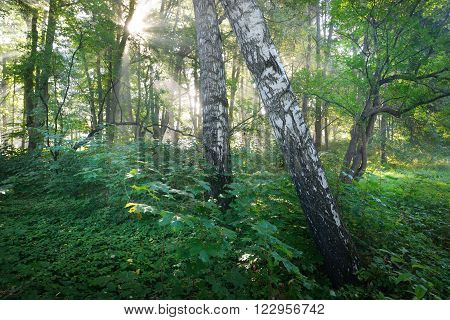 Sun rays in fog in a birch tree forest in Latvia