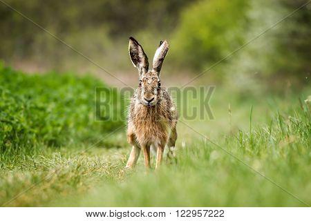 European hare (Lepus europaeus) on the green field