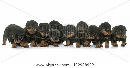 young puppies rottweiler in front of white background