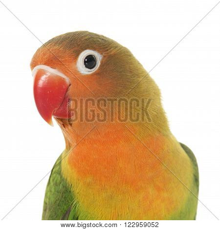 Young fischeri lovebird in front of white background
