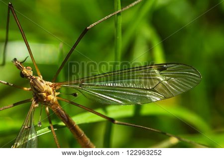 Crane Fly Wing, Head And Eyes - Tipula Sp.