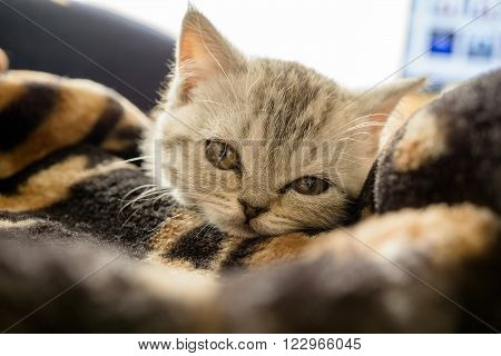 Little grey scottish cat lying on the bed