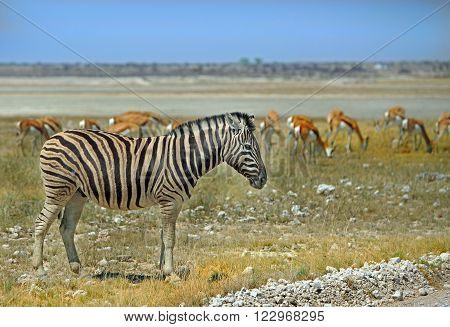 An isolated Zebra standing on the Etosha Plains with a herd of Springbok in the background