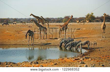 A vibrant waterhole in Etosha with Giraffe, zebra and springok