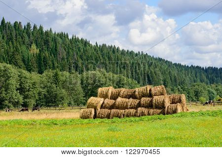 Hay rolls piled on a farm next to cow pasture. Meadow with a hill covered by pine tree forest and a pasture with cows at the background. Summer cloudy skies.
