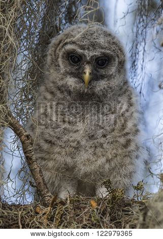 Baby Barred Owl (strix Varia) - Florida