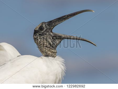 Closeup Of A Wood Stork Calling - Florida