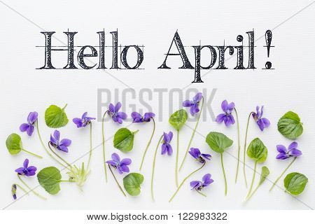Hello April  greetings with fresh viola flowers  and leaves on white art canvas