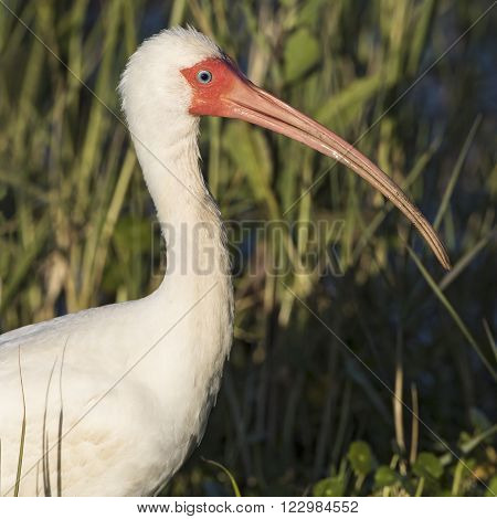 Closeup Of A White Ibis In Breeding Plumage - Florida