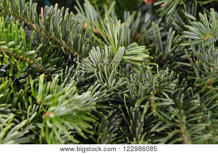 Fir Tree, Close Up