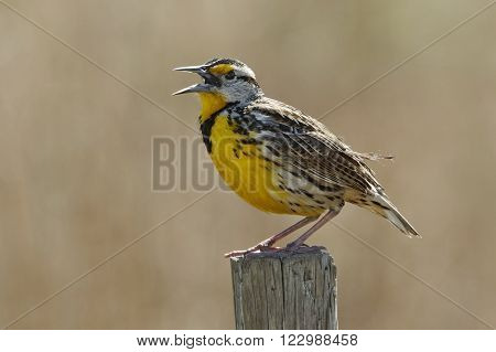 Eastern Meadowlark (Sturnella magna) Singing on a Wooden Fence Post - Florida