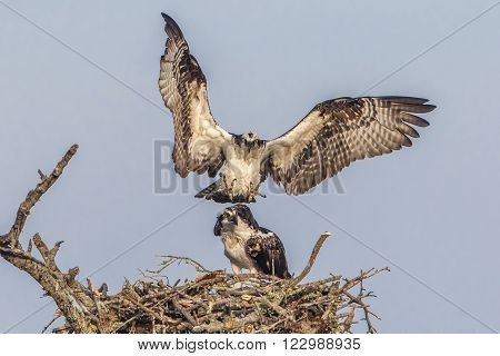 Male Osprey Joining His Mate At Their Nest - Florida