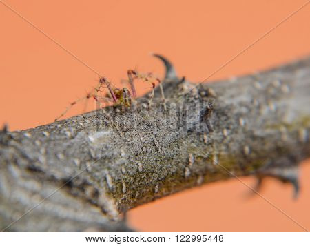 The lynx-spiders are so called because some species chase their prey with great rapidity over herbage and the foliage of trees and shrubs