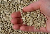 stock photo of sunflower-seed  - hand holding unshelled sunflower seeds over seeds background - JPG