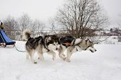 Постер, плакат: Northern Sled Dogs