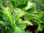image of profusion  - Tropical palm frond leaves - JPG