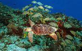 Hawksbill Turtle and School of Grunts