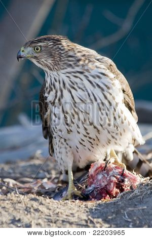 Coopers Hawk with a Kill