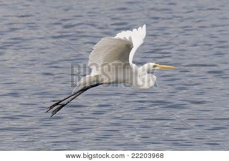 Great Egert in Flight