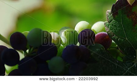 Grapes And A Leaf