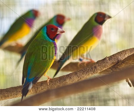 Australian Gouldian Finch Native Birds Of Australia