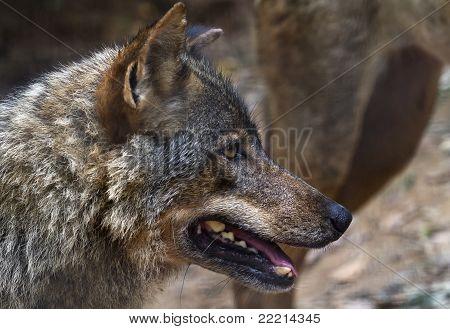 Iberian Wolf