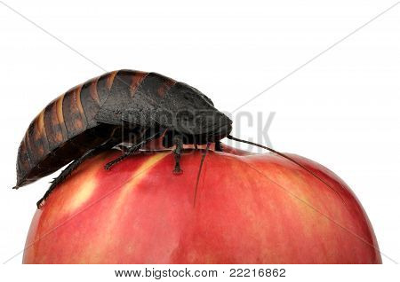 Cockroach On The Apple