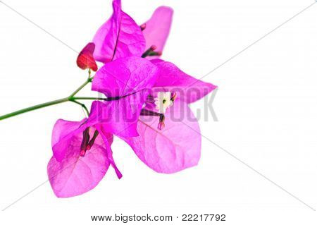 Isolated Bougainvillea