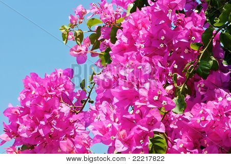 Bougainvillea Against Sky