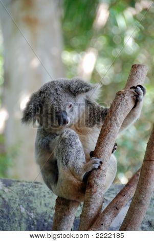 Koala Bear 3