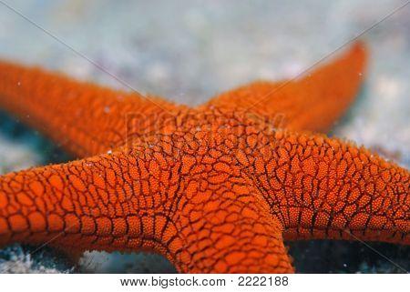 Orange Sea Star 2