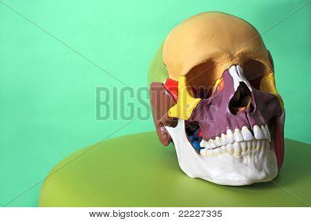 cranial model