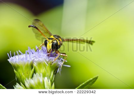 wasp in garden or in forest