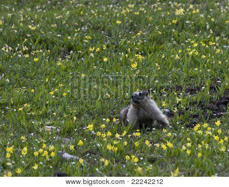 Marmot in Yellow Alpine Lilies
