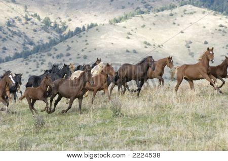 Horses Stampeding