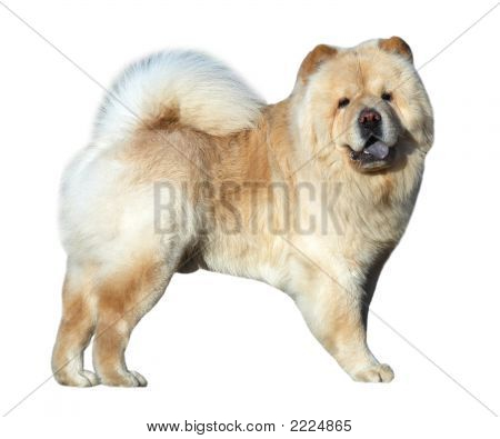 Chow-Chow Dog Isolated On White