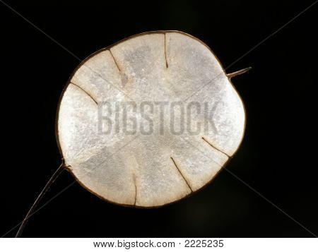 Transparent Lunaria Seed
