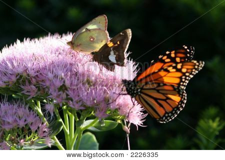 Butterfly Variety