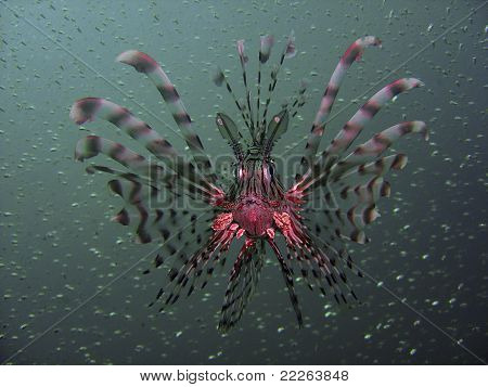 Common Lionfish Pterois Miles