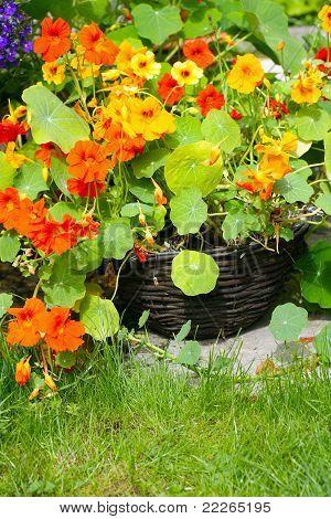 Flor capuchina en el jardín