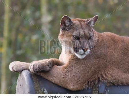 Cougar 2