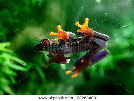 Rotaugenlaubfrosch