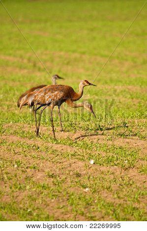 Trio Of Sandhill Cranes