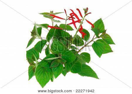 Pinapple Sage, Salvia Rutilans Var.