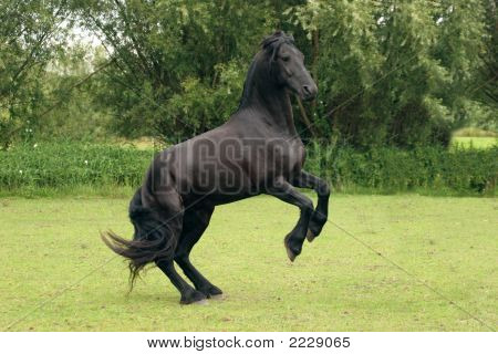Rearing Black Horse