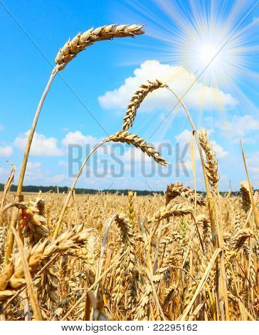 Summer Field with a Spikes of a Ripe Common wheat - Bread Wheat (Triticum aestivum)