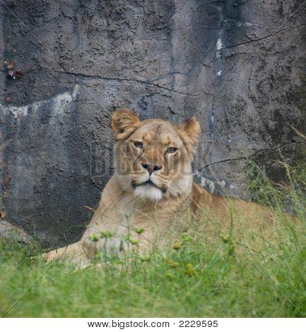 African Lioness Portrait 2