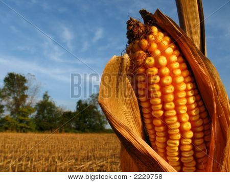 Harvest Time Corn