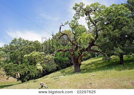 live oak on California hills