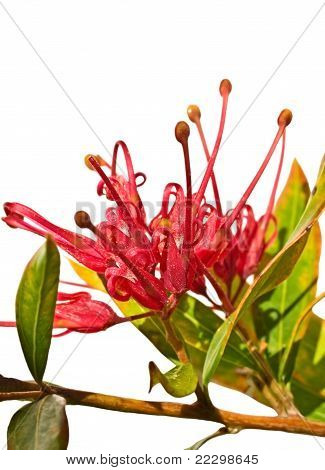 Grevillea Splendour Australian Flower Isolated